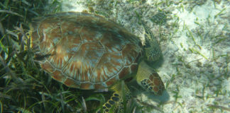 Schildkröte Akumal Mexiko Green Turtle