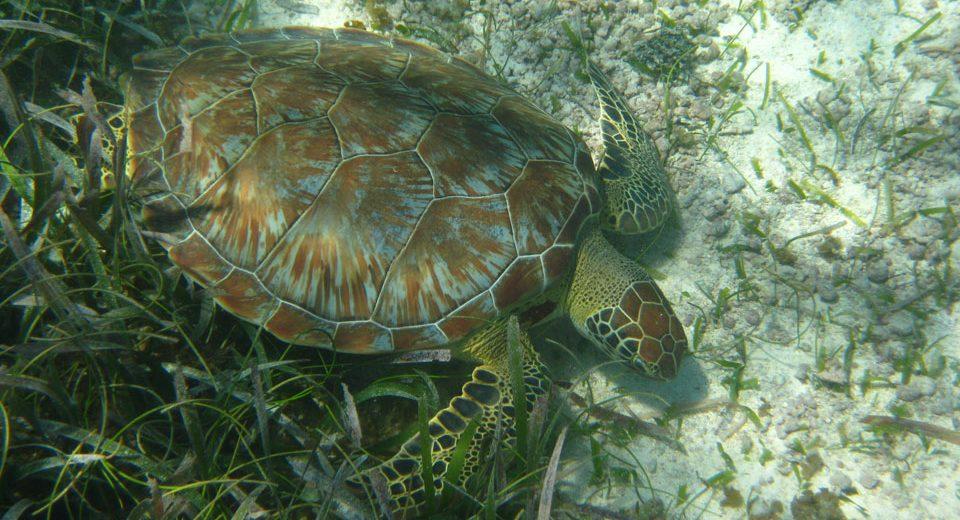 Akumal – Schnorcheln mit Schildkröten