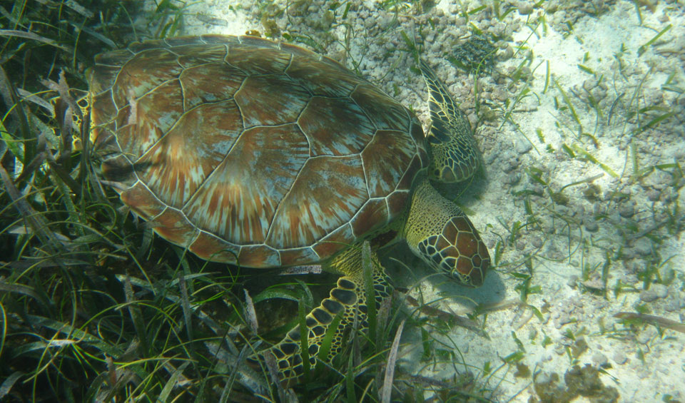 green_turtle