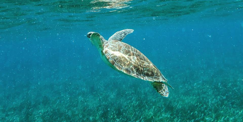 Yucatan Sehenswürdigkeiten: Akumal Schnorcheln mit Schildkröten