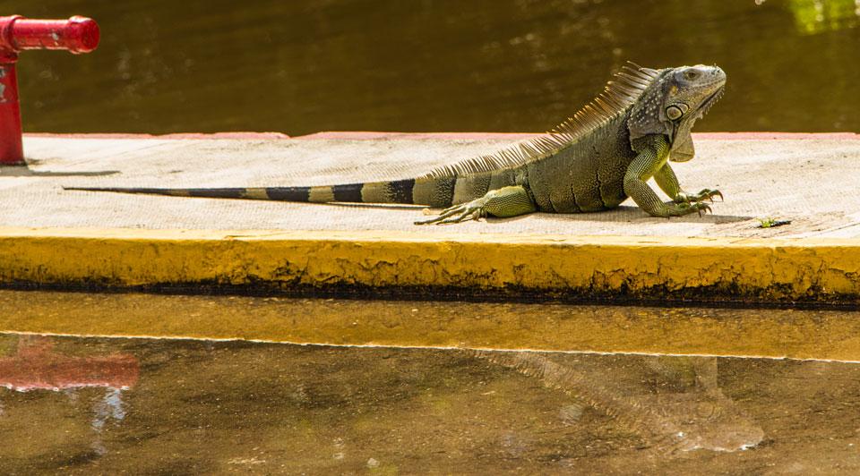 Chetumal Gecko sonnt sich