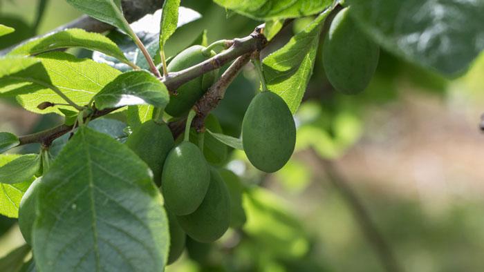 Tiroler Schnapsroute Zwetschge-frucht