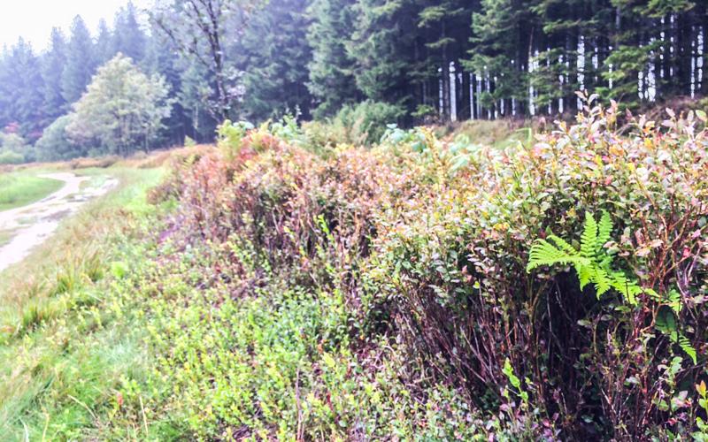 Hohes Venn Landschaft Moosbeeren