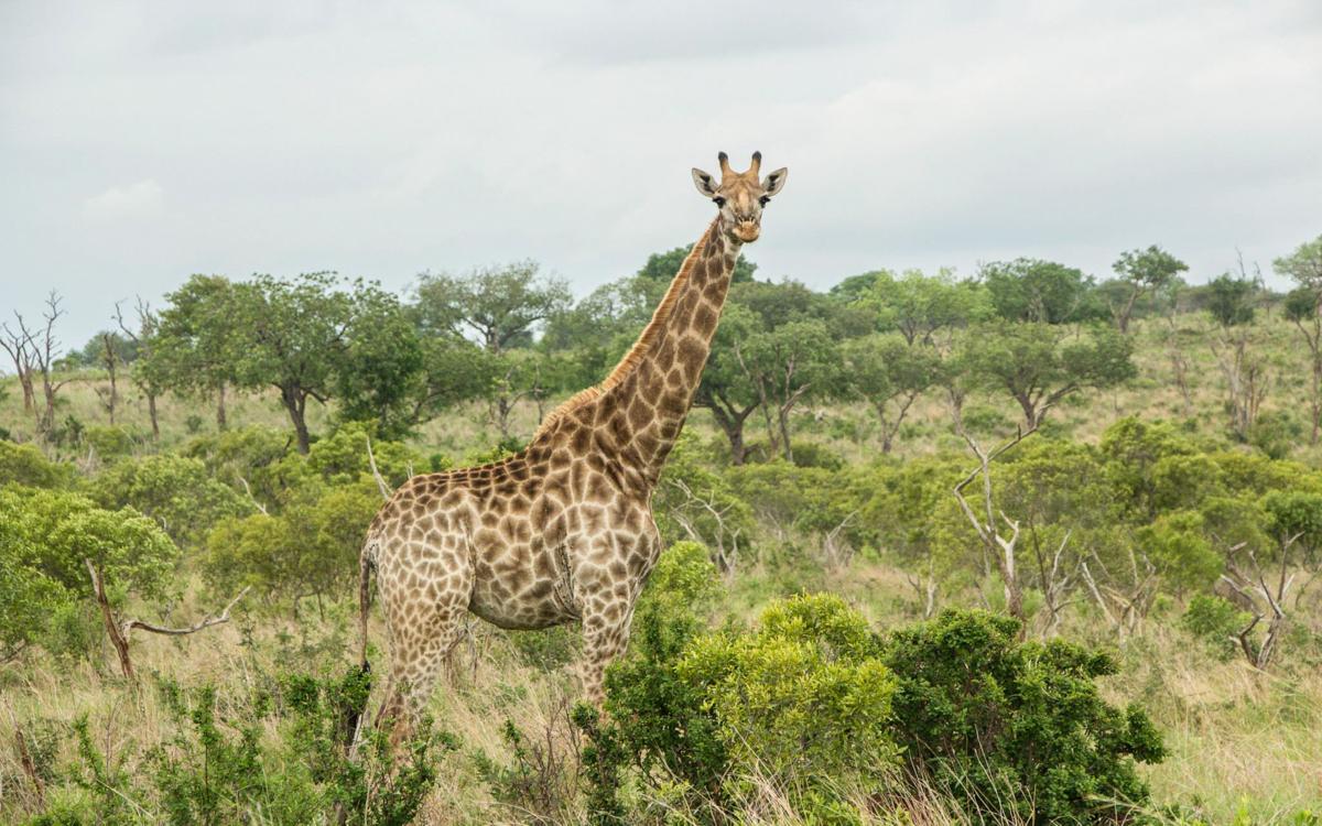 Giraffe im Mkhaya Game Reserve in Swasiland