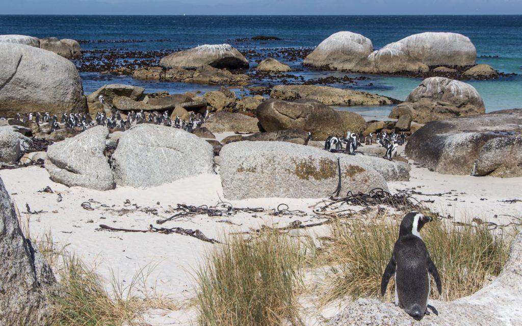 Boulders Beach Kapstadt Pinguine