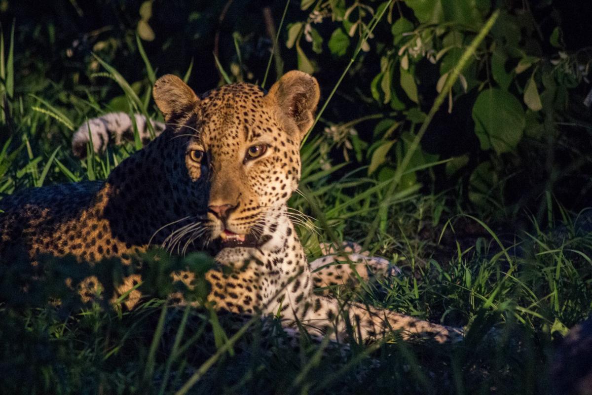 Leopard Game Drive Sabi Sabi