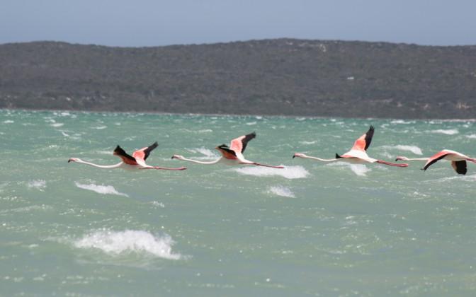 Flamingos Langebaan Südafrika Hightlights