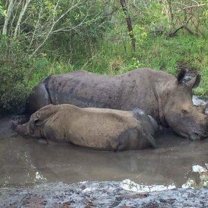 Swasiland Mkhaya Game Reserve White Rhino Family
