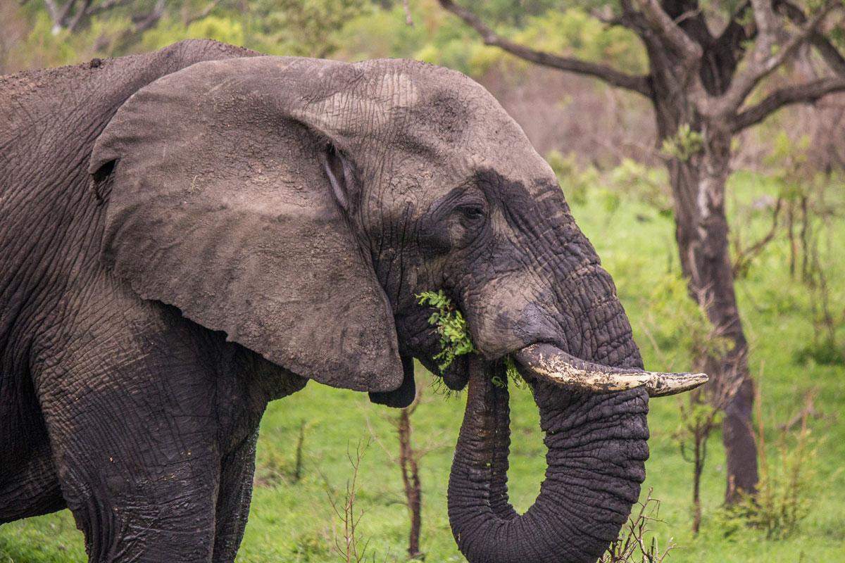 Elefant Sabi Sabi