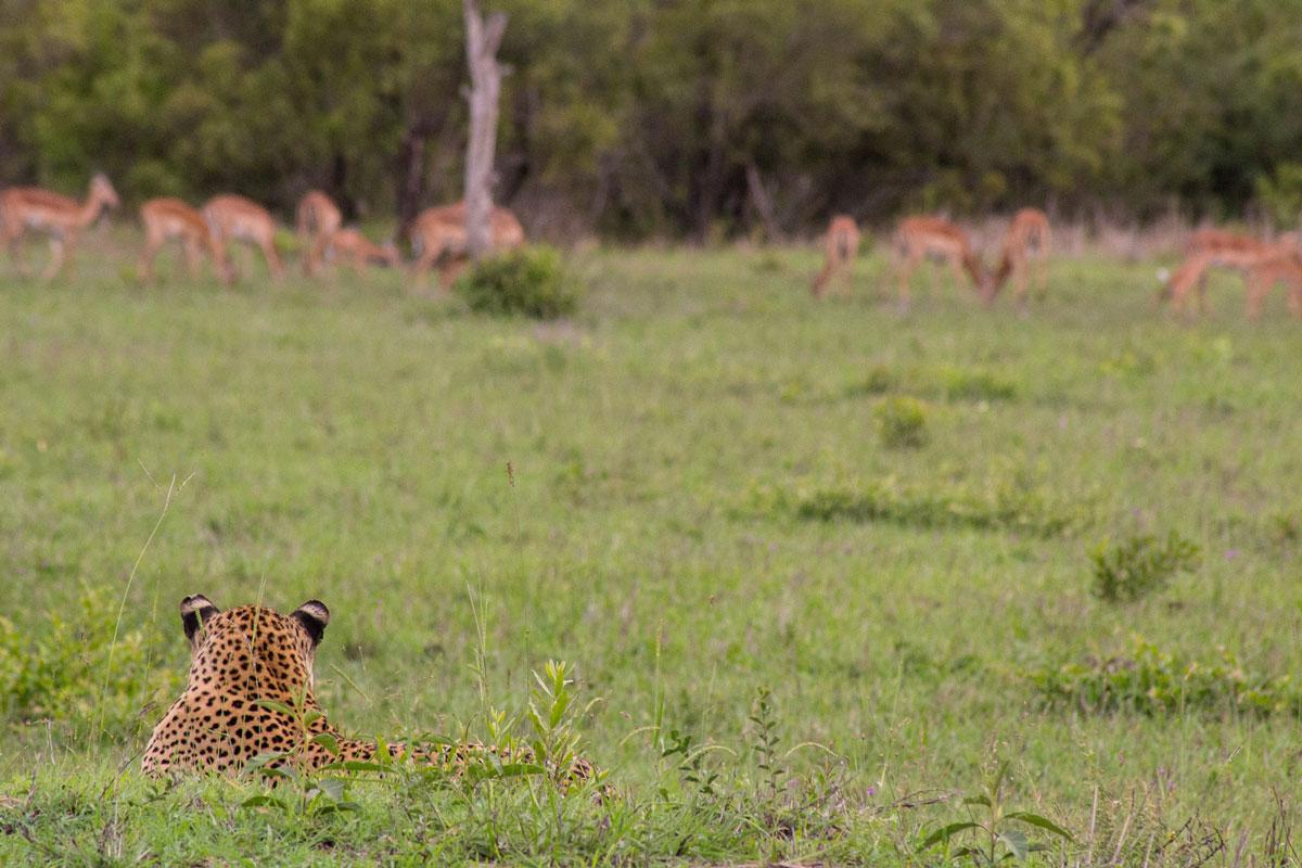 Leopard Impala Jagd