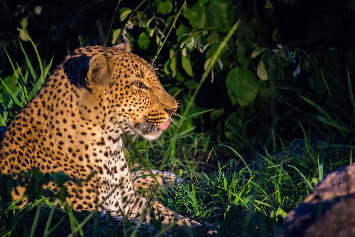 pirschfahrt-dunkeln-leopard