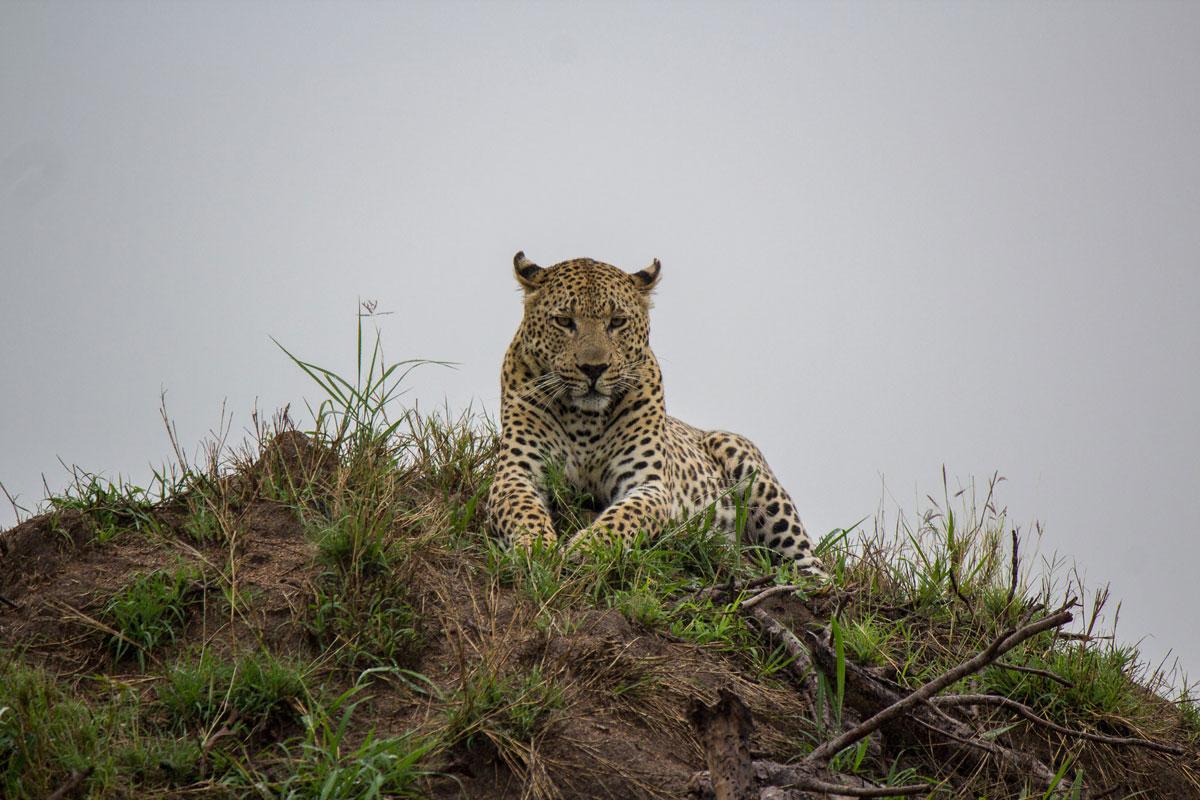 Sabi Sabi Game Drive Leopard