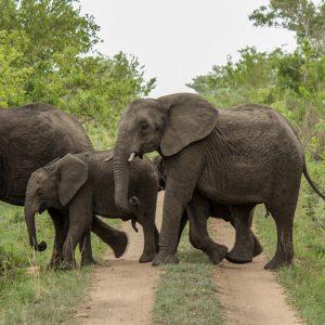 Rhino Walking Tours Krüger Nationalparkl Elefanten