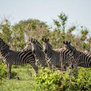 Zebras Krüber Nationalpark