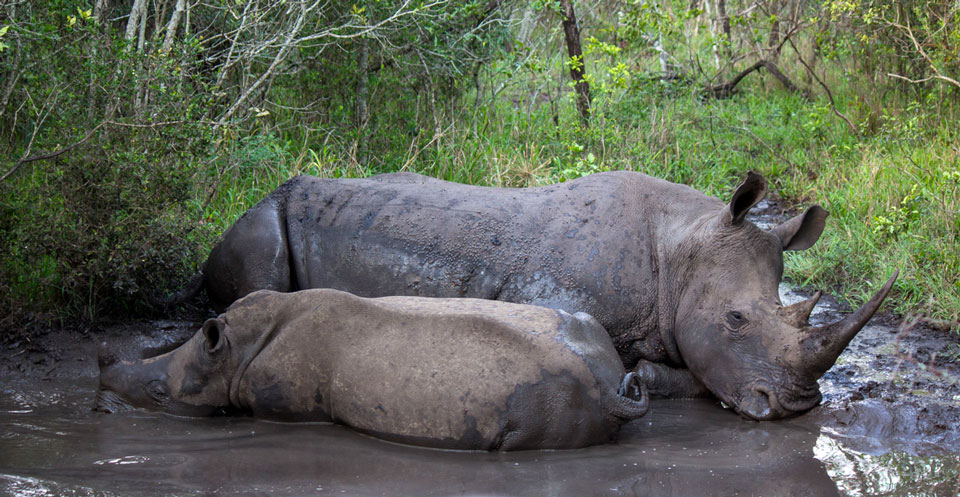 Mkhaya Game Reserve Game Drive Nashorn Familie