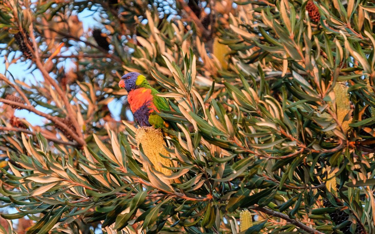 Melbourne Sehenswürdigkeiten Botanischer Garten Papagei