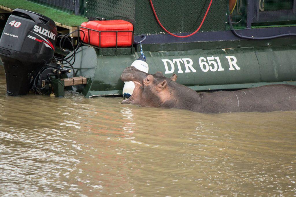 Nilpferd iSimangaliso Wetland Park