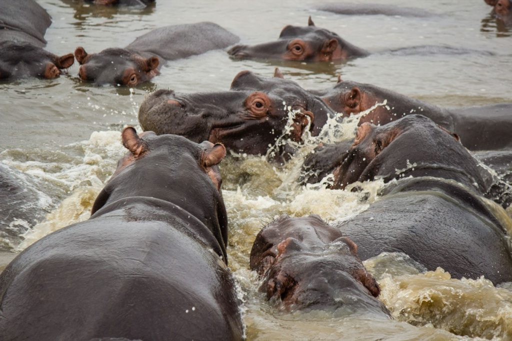 Nilpferde im St Lucia iSimangaliso Wetland Park
