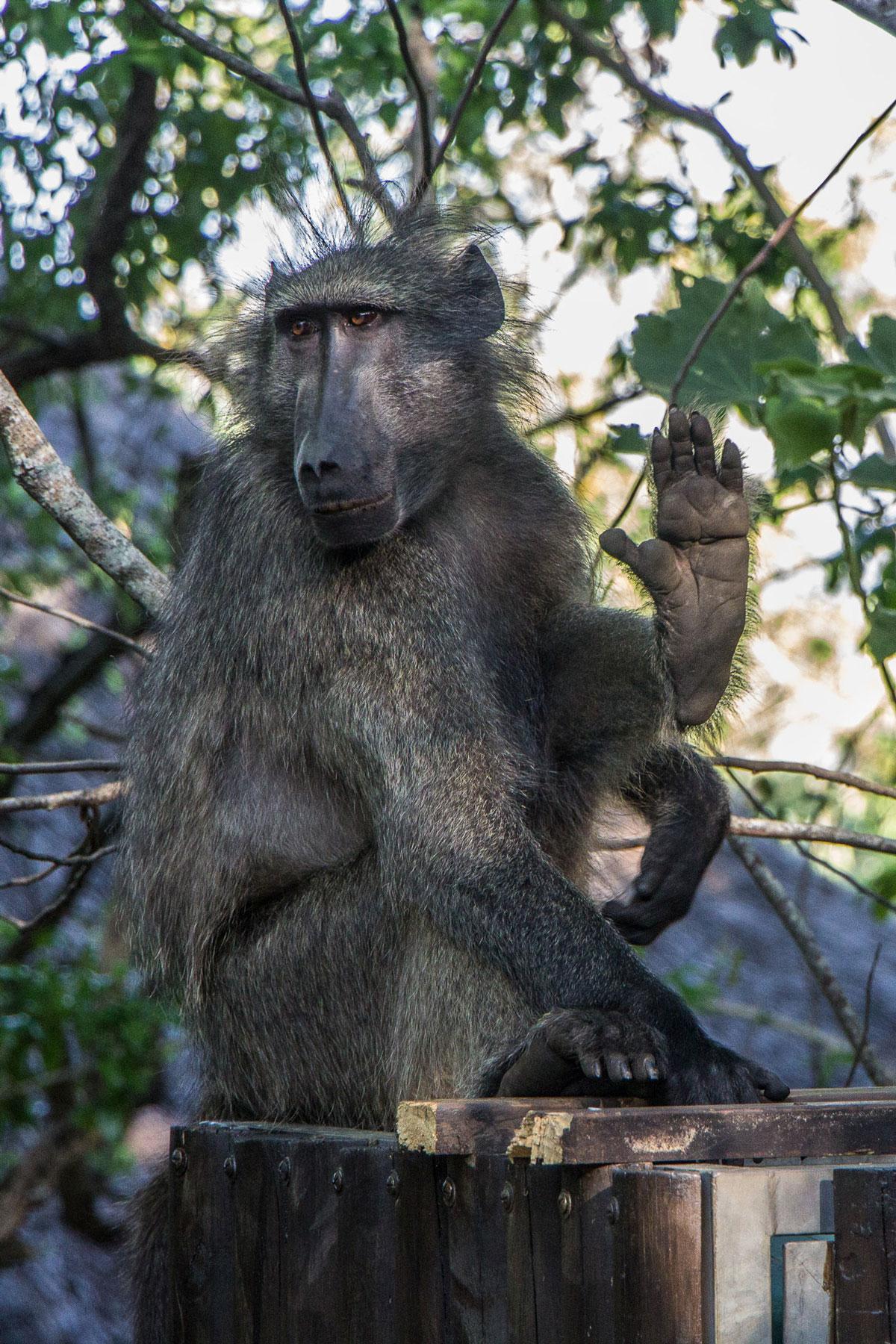 Hilltop Camp Hluhluwe Südafrika Baboon