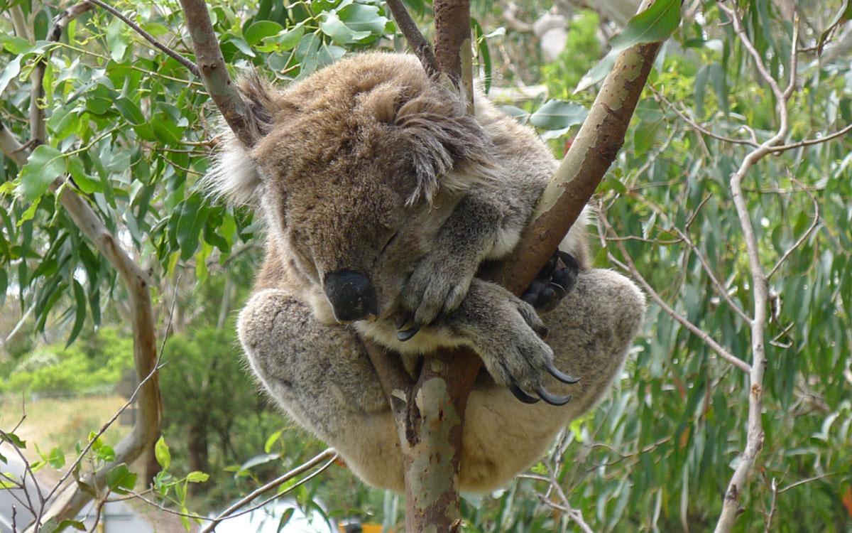 Melbourne Sehenswürdigkeiten Koala Botanischer Garten