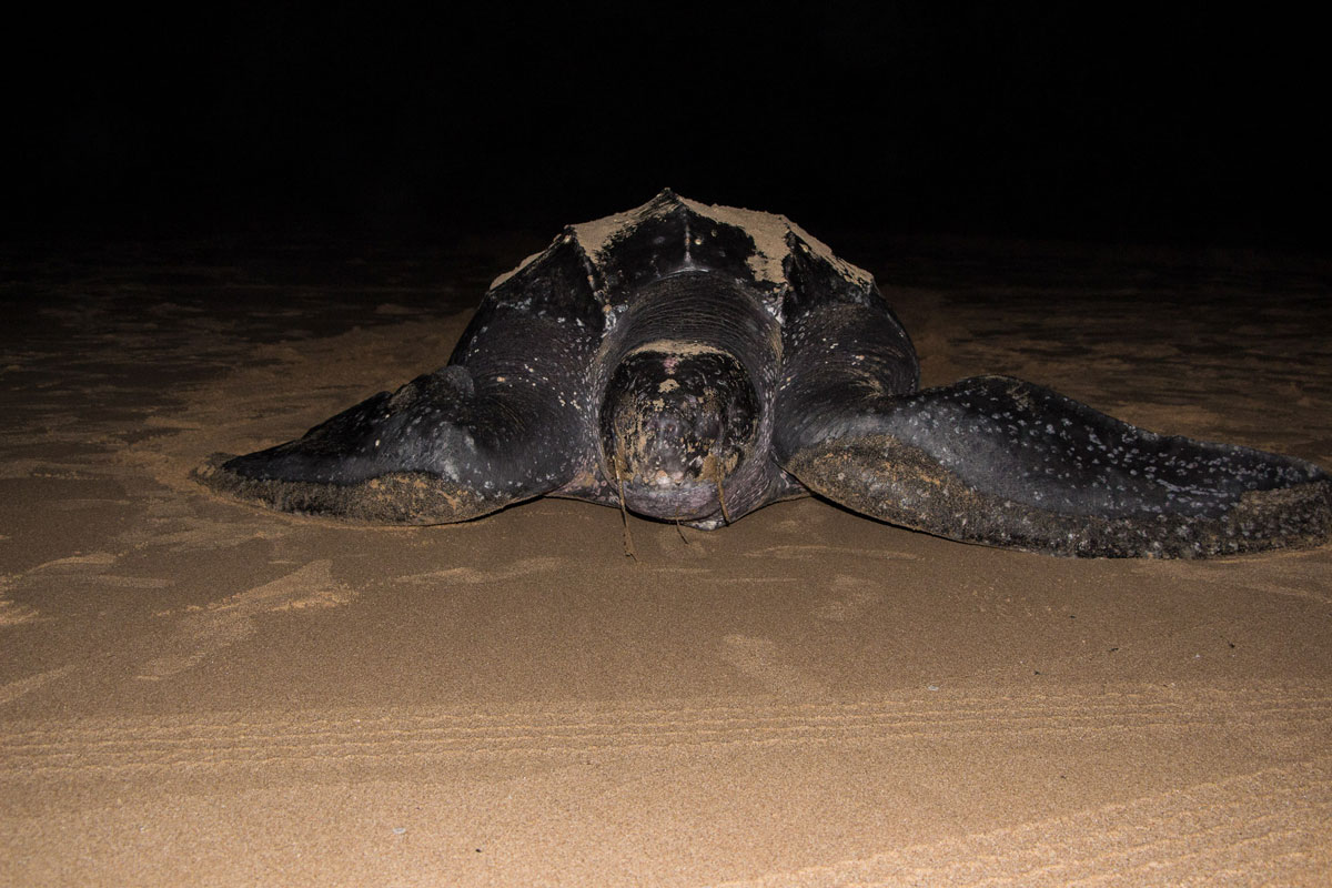 Isimangaliso Wetland Park St Lucia Lederschildkröte auf Weg ins Meer