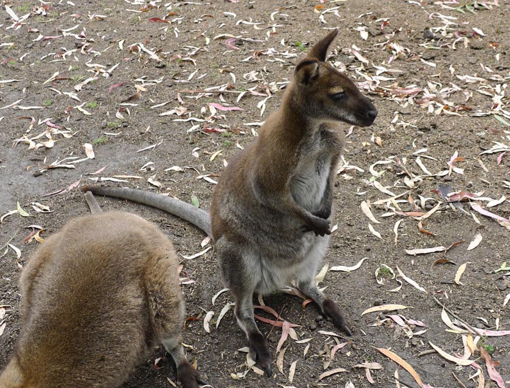 Melbourne Sehenswürdigkeiten Kanguruh im Botanischen Garten