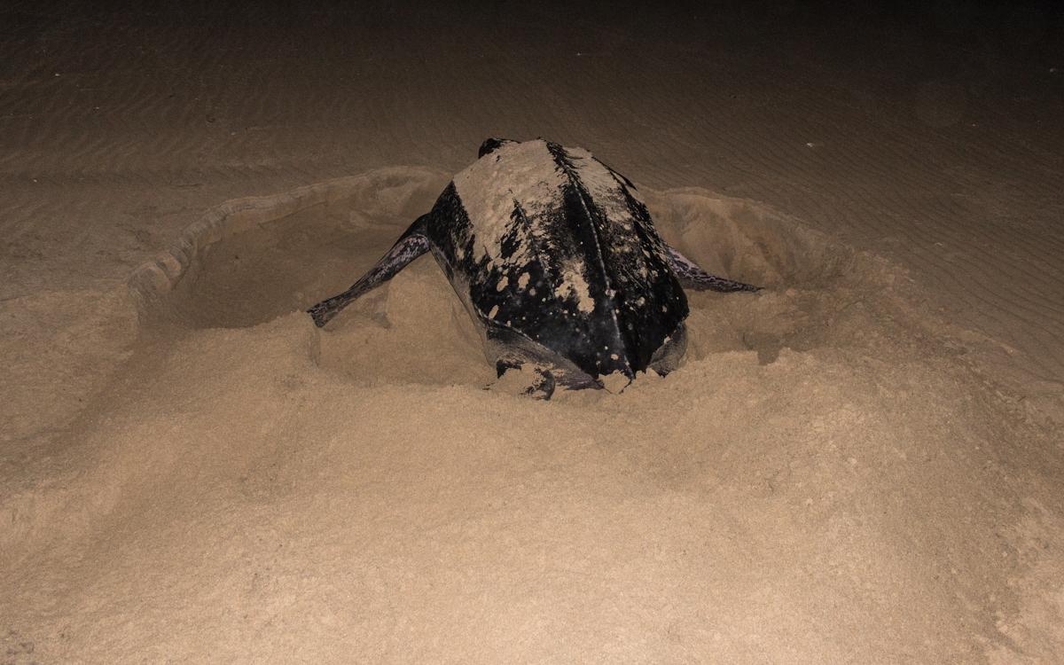 Lederrücken Schildkröte buddelt Eier zu