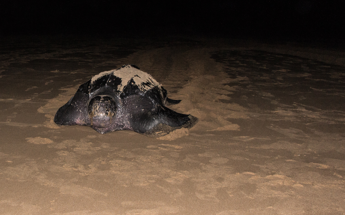 Lederschildkröte zurück ins Meer