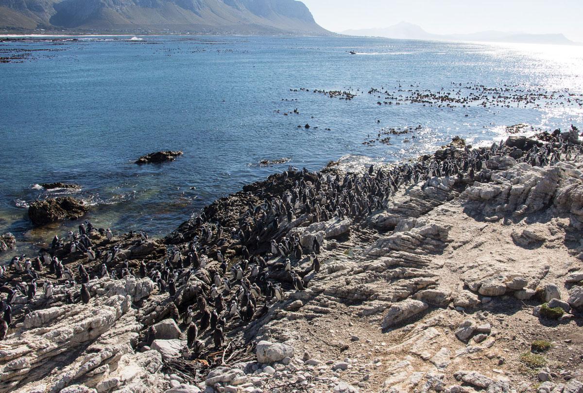 Kapstadt Sehenswürdigkeiten Bettys Bay Pinguine