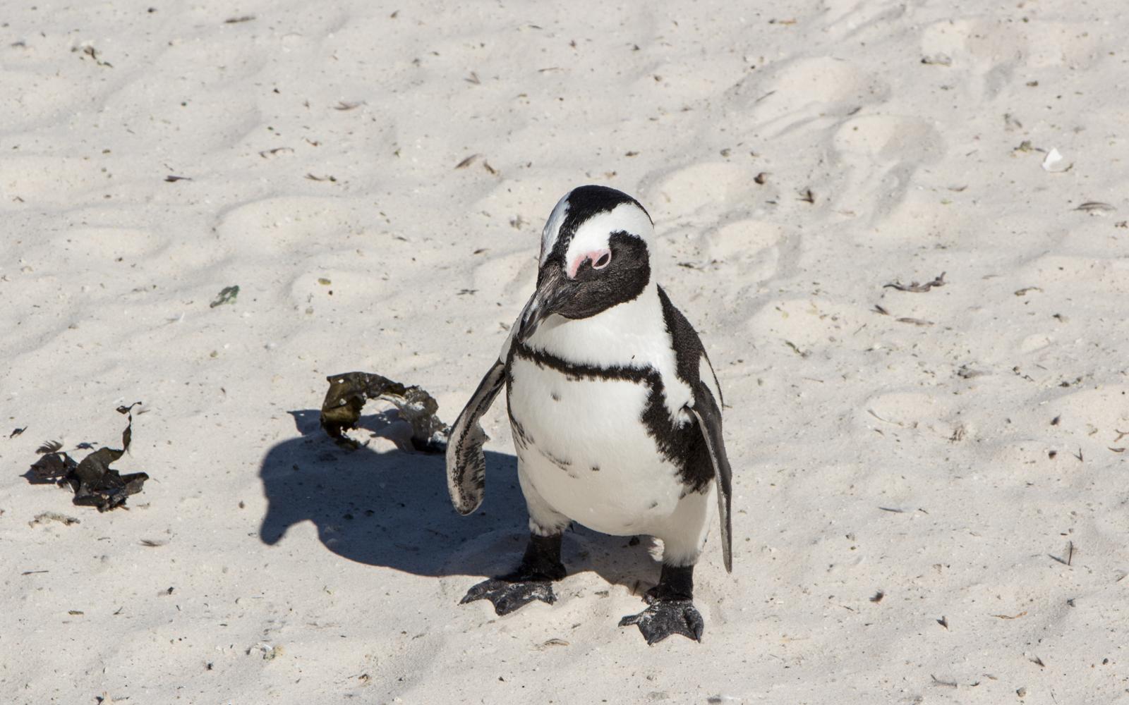 Kapstadt Sehenswürdigkeiten Boluders Beach Pinguine