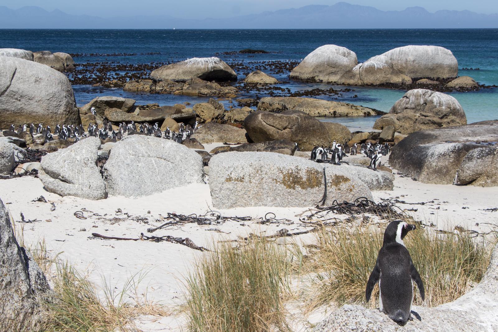 Kapstadt Sehenswürdigkeiten Pinguine Boulders Beach in Simons Town