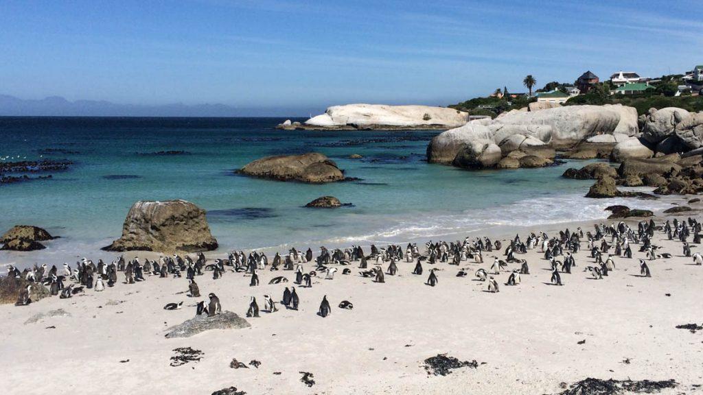 penguins-bouldersbeach-capetown