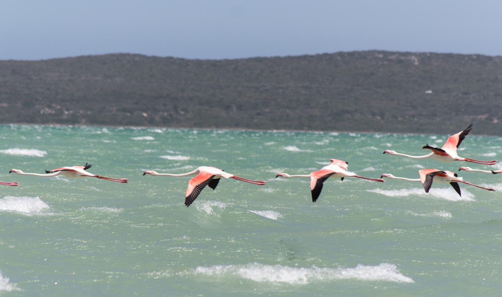 west-coast-np-flamingos-1