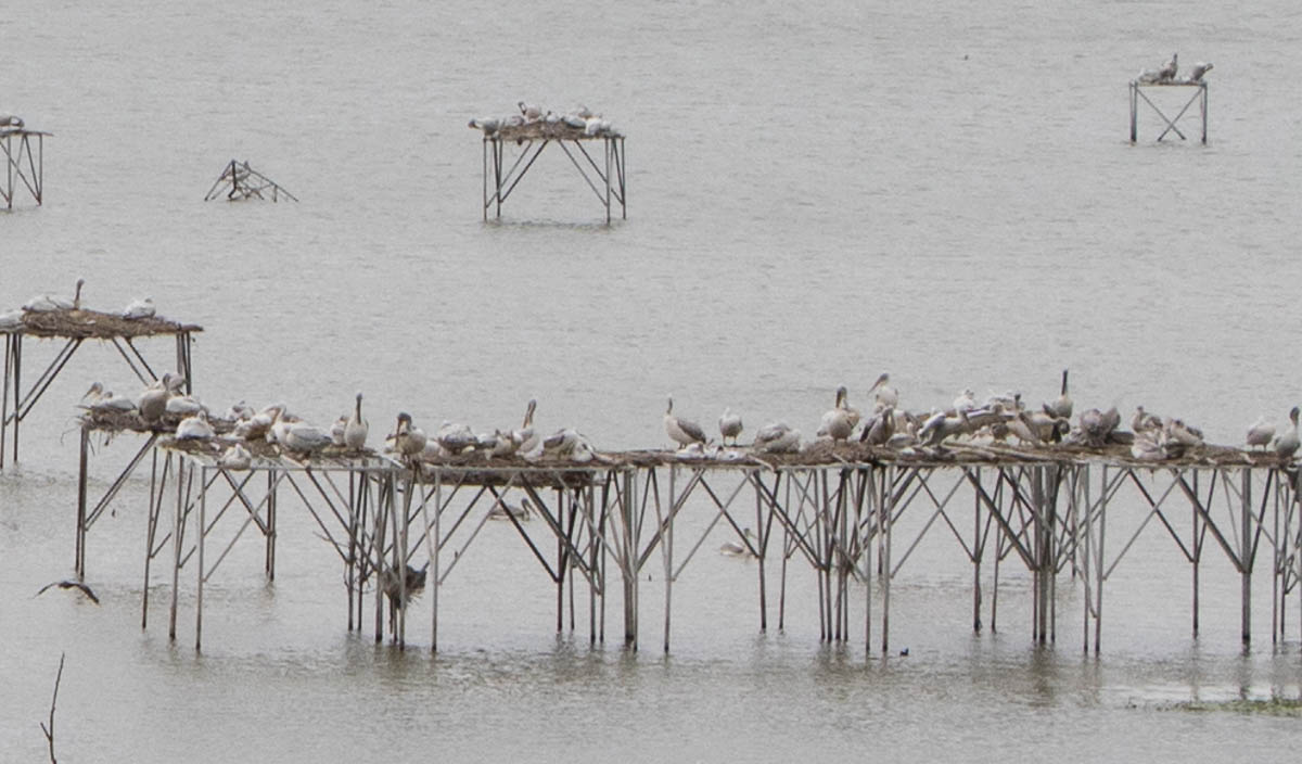 Pelikane Manyas See Türkei