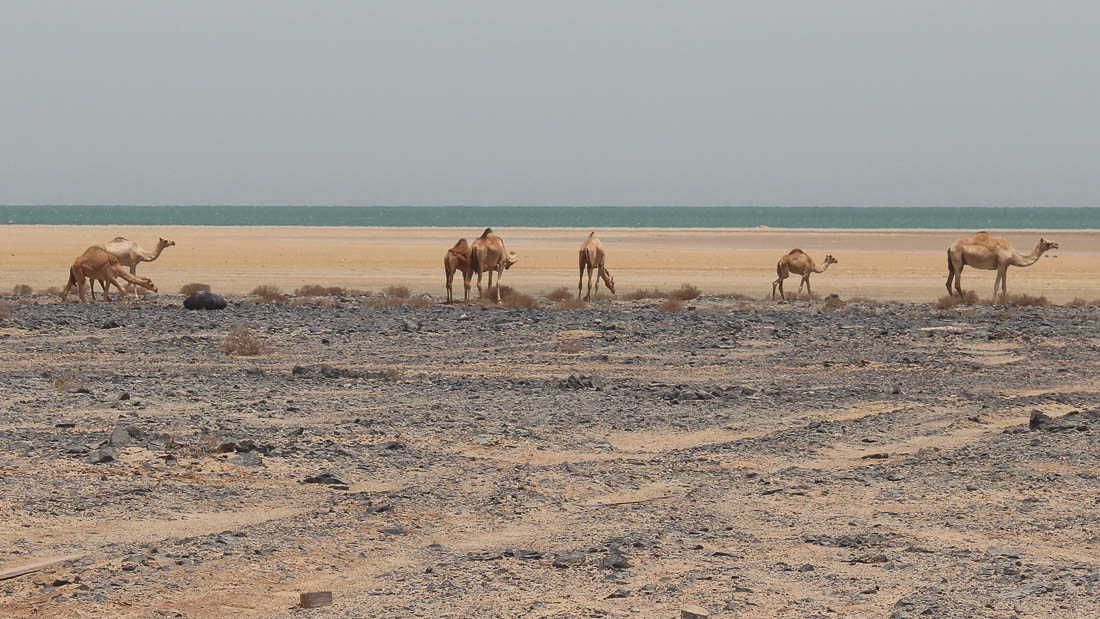 oman-reise-kamele-strand