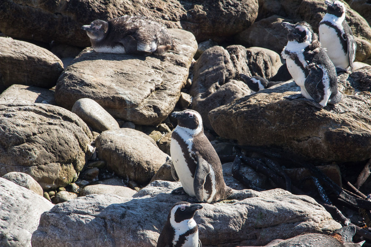 pinguine-bettys-bay3