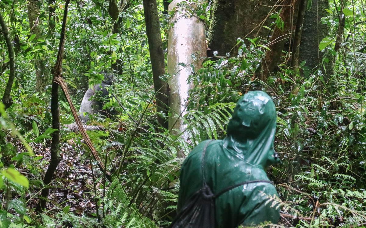 blick-silberruecken-makara-gorilla-trekking-uganda-bwindi