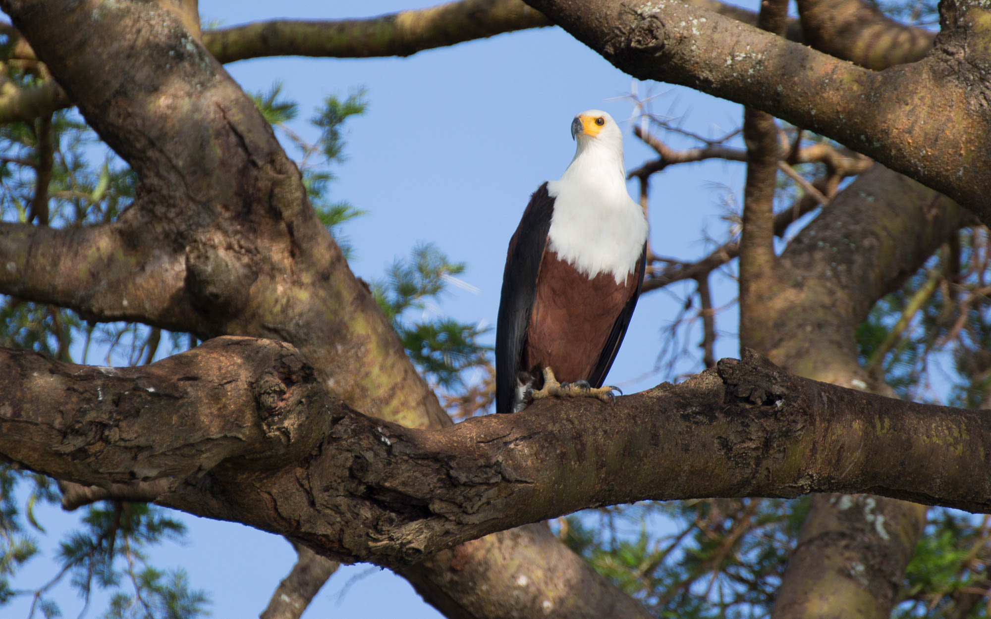 African Eagle im Murchison Falls NP