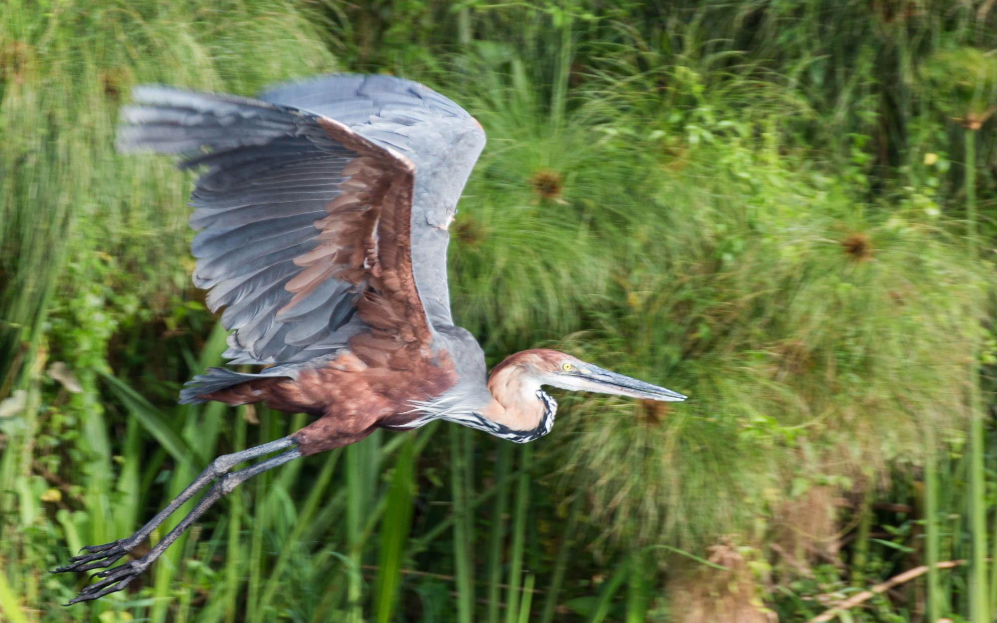 bootstour-delta-murchison-falls-heron-flug