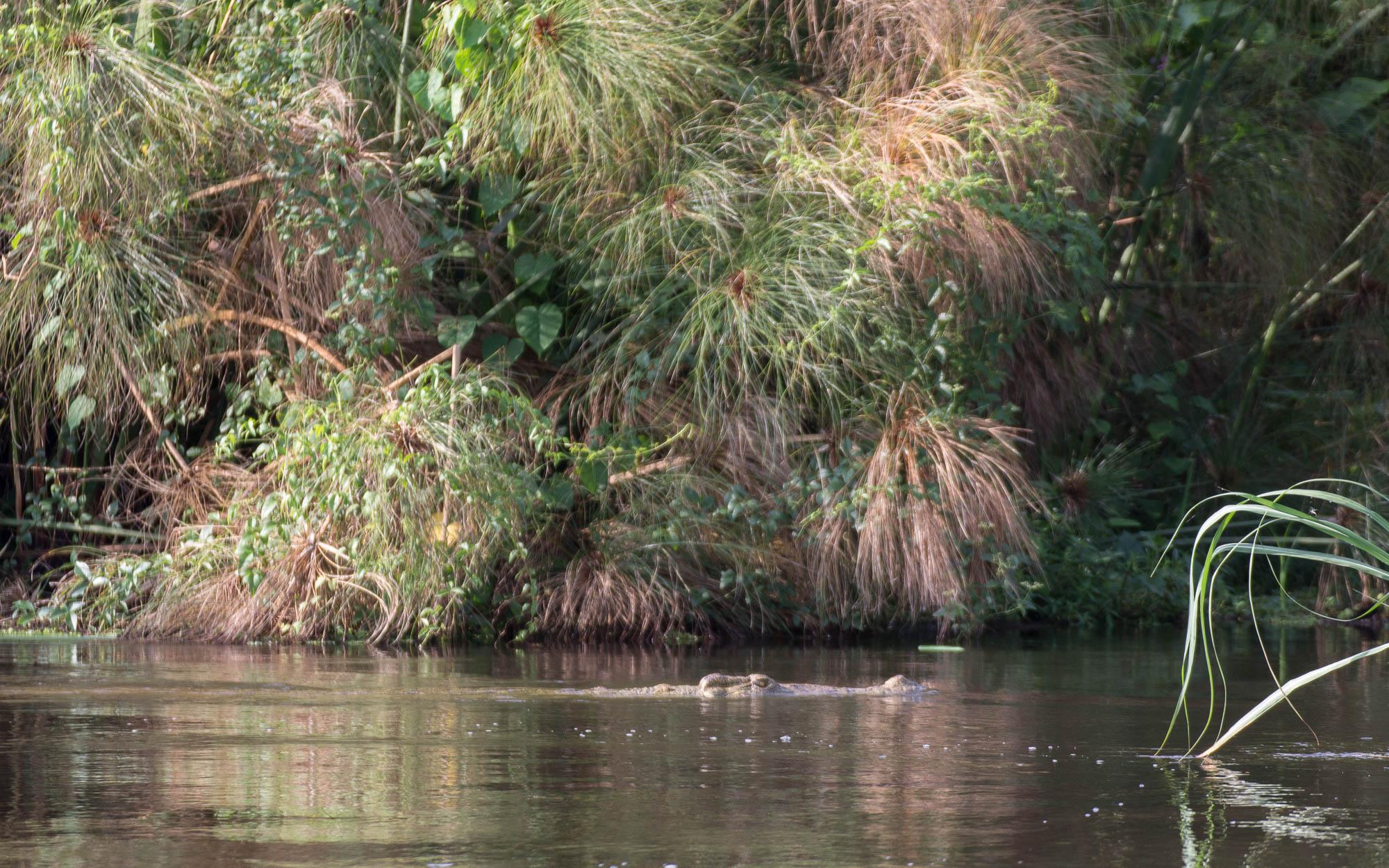 Ein großes Nil-Krokodil