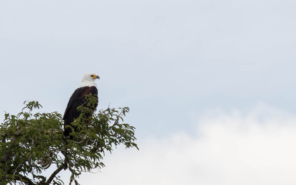 bootstour-murchison-falls-african-eagle