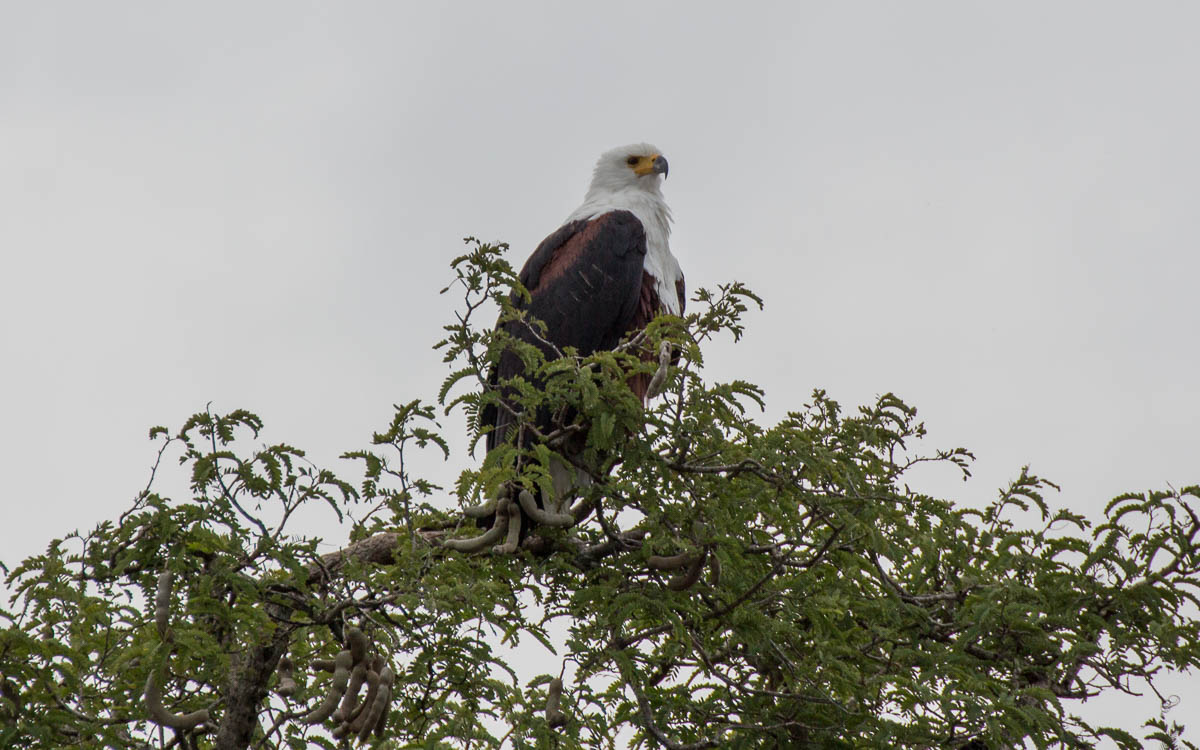 bootstour-murchison-falls-african-eagle2