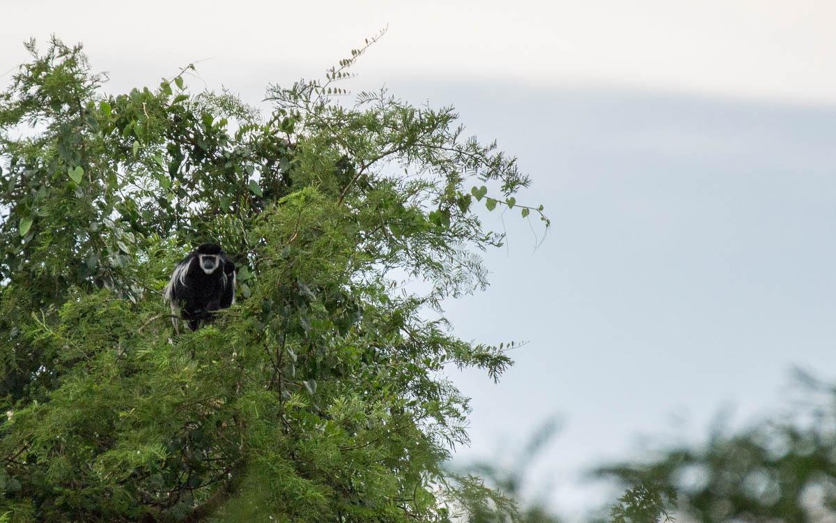 bootstour-murchison-falls-colobus-monkey