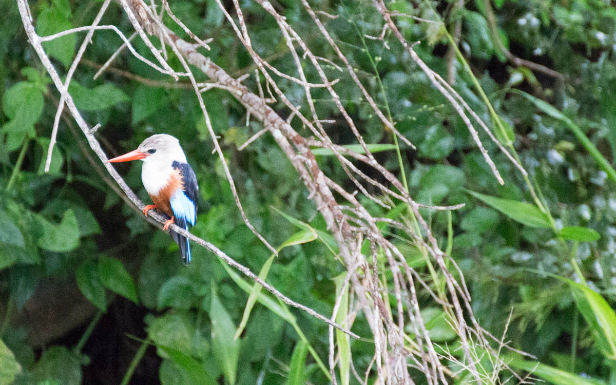 bootstour-murchison-falls-kingfisher