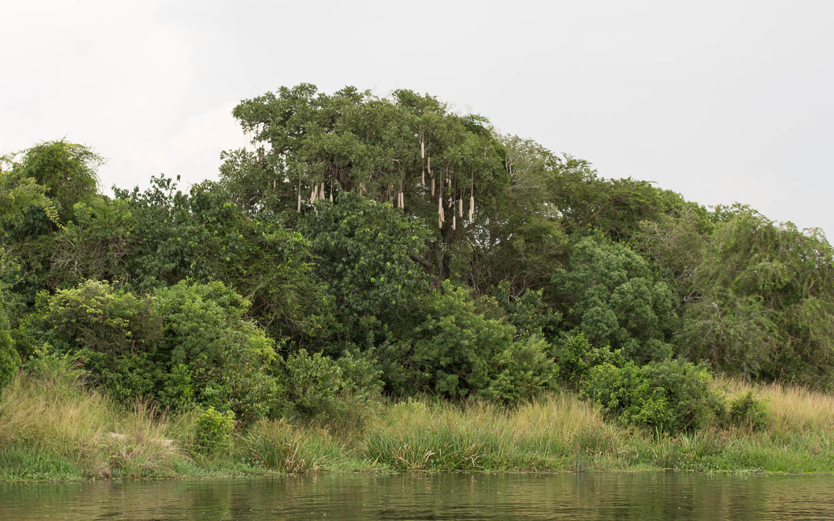 bootstour-murchison-falls-leberwurstbaum