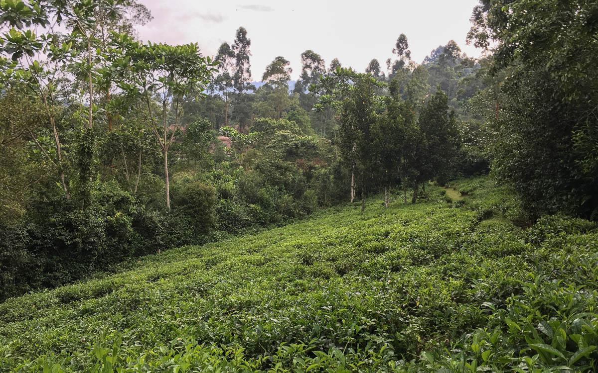 Teefelder als Pufferzone zwischen Mensch und Gorilla