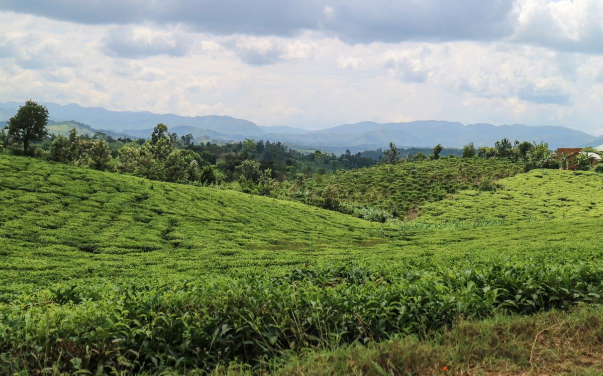 fahrt-nach-buhoma-teefelder