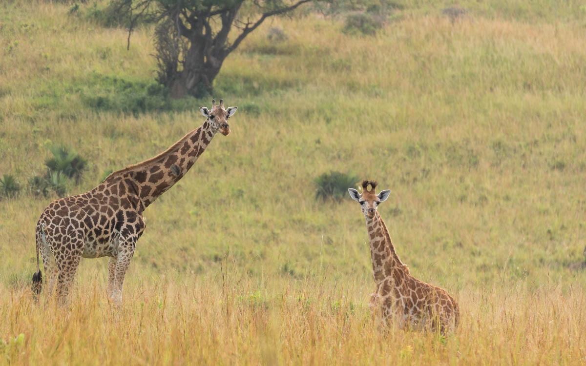 game-drive-murchison-falls-nationalpark-giraffen