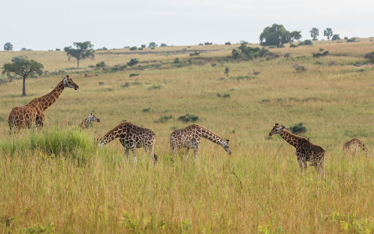 Murchison Falls Nationalpark Rothschildgiraffen