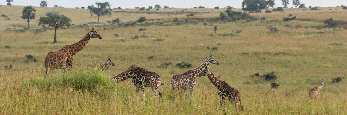 3 Tage im Murchison Falls Nationalpark im Nordwesten Ugandas